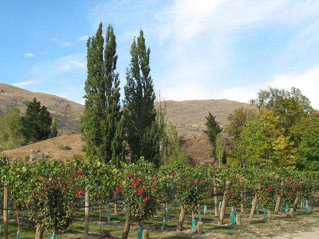 Vignes en Nouvelle-Zélande - fourclavier.com