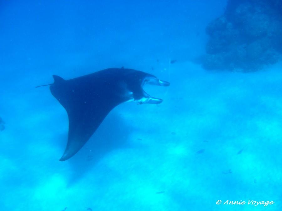Raie manta dans le lagon de Maupiti