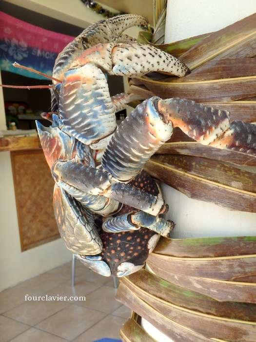 kaveu ou crabe de cocotier
